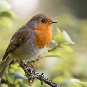picture of a robin for poem